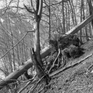 Aufnahme eines abgebrochenen Baumstammes in einem Waldstück oberhalb von Dalaas / Josef Wilhelm Purtscher von Purtscher, Josef Wilhelm