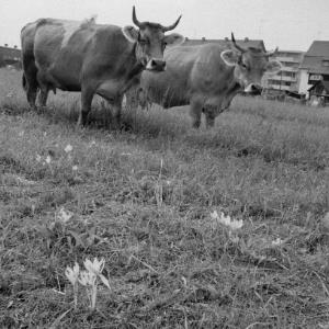 Lustenau, Kühe auf der Weide / Rudolf Zündel von Zündel, Rudolf