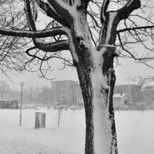 Bregenz Seeanlage, verschneiter Baum / Rudolf Zündel von Zündel, Rudolf