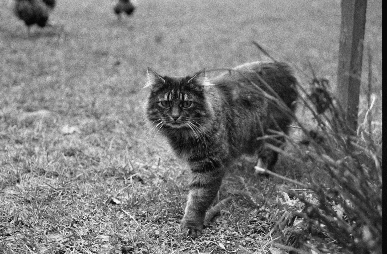 Katze / Rudolf Zündel von Zündel, Rudolf