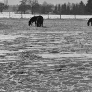 Hohenems, Pferde / Rudolf Zündel von Zündel, Rudolf