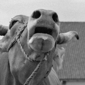 Kühe / Rudolf Zündel von Zündel, Rudolf
