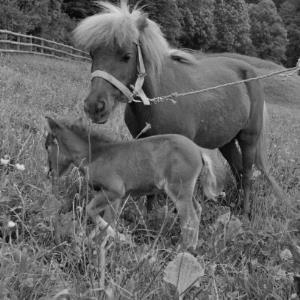Pony mit Fohlen / Rudolf Zündel von Zündel, Rudolf