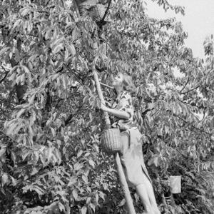 Kirschenernte in Gaißau / Rudolf Zündel von Zündel, Rudolf