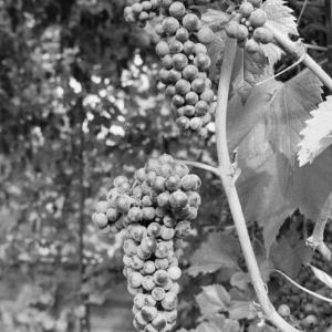 Weintrauben Götzis / Rudolf Zündel von Zündel, Rudolf
