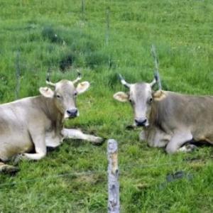 Kuhpaare / Rudolf Zündel von Zündel, Rudolf