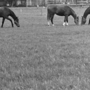 Pferde beim Kloster Mehrerau / Rudolf Zündel von Zündel, Rudolf
