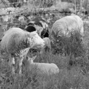 Schafe / Rudolf Zündel von Zündel, Rudolf
