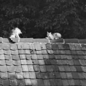 Katzen auf dem Hausdach / Rudolf Zündel von Zündel, Rudolf