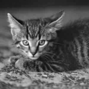 Katze Mikesch / Rudolf Zündel von Zündel, Rudolf