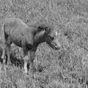 Ponys / Rudolf Zündel von Zündel, Rudolf