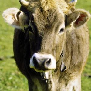 Kühe auf der Wiese / Rudolf Zündel von Zündel, Rudolf