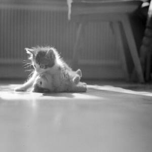 Junge Katzen / Rudolf Zündel von Zündel, Rudolf