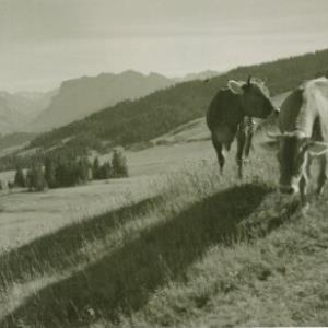 Kühe / Fotograf: Norbert Bertolini von Bertolini, Norbert