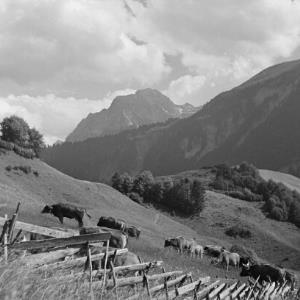 Au, Kühe auf der Wiese / Franz Beer von Beer, Franz