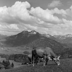 Schwarzenberg, Kuh auf der Wiese / Franz Beer von Beer, Franz