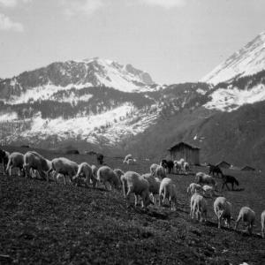 Schafe auf der Weide / Franz Beer von Beer, Franz