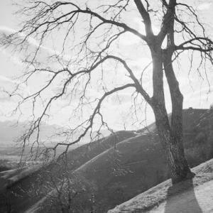 Baum gegen den Abendhimmel / Franz Beer von Beer, Franz